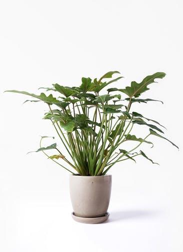 観葉植物 クッカバラ 4号 アステア トール ベージュ 付き
