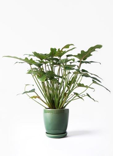 観葉植物 クッカバラ 4号 アステア トール グリーン 付き