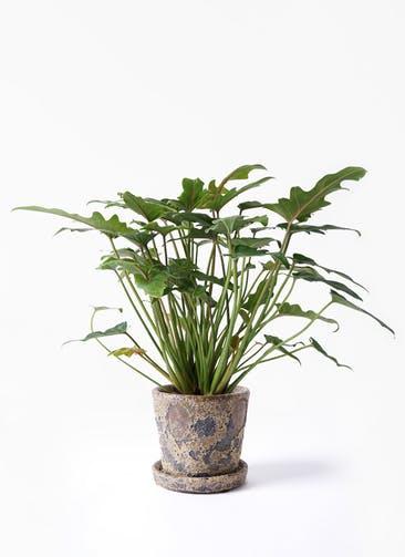 観葉植物 クッカバラ 4号 ハレー カーキー 付き