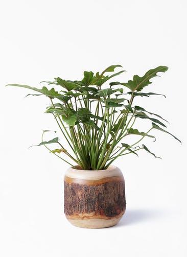 観葉植物 クッカバラ 4号 マンゴーウッド 付き