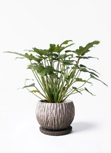 観葉植物 クッカバラ 4号 ストーン ウェア セラミック 付き