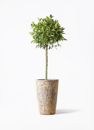 観葉植物 フィカス ベンジャミン 8号 ゴールデンスポット アトランティス クルーシブル 付き