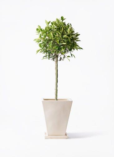 観葉植物 フィカス ベンジャミン 8号 ゴールデンスポット スクエアハット 白 付き