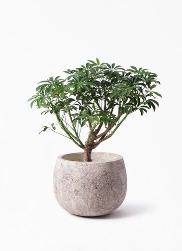観葉植物 シェフレラ コンパクタ 5号 フリットバルーンアンティーククリーム 付き