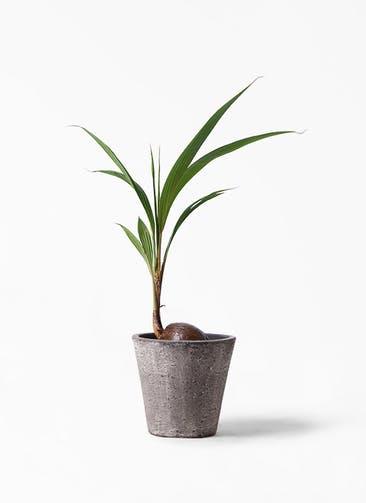 観葉植物 ココヤシ 7号 フォリオソリッド ブラックウォッシュ 付き
