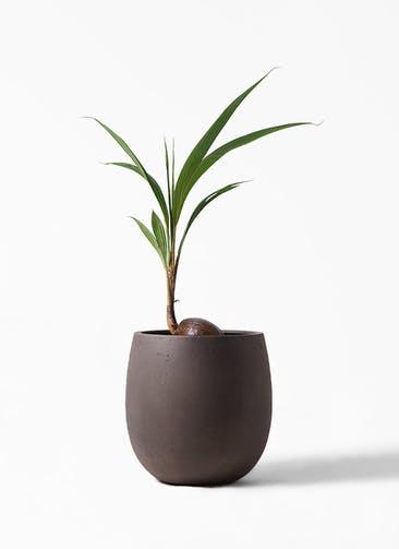 観葉植物 ココヤシ 7号 テラニアス バルーン アンティークブラウン 付き