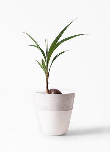 観葉植物 ココヤシ 7号 ジュピター 白 付き