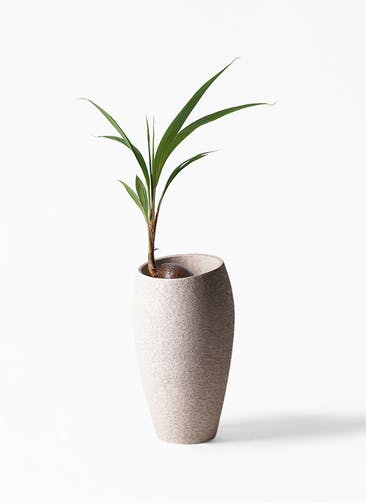 観葉植物 ココヤシ 7号 エコストーントールタイプ Light Gray 付き
