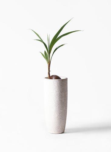 観葉植物 ココヤシ 7号 エコストーントールタイプ white 付き