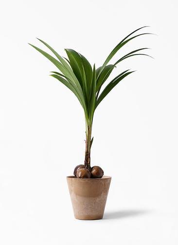 観葉植物 ココヤシ 10号 アートストーン ラウンド ベージュ 付き