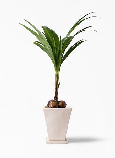 観葉植物 ココヤシ 10号 スクエアハット 白 付き