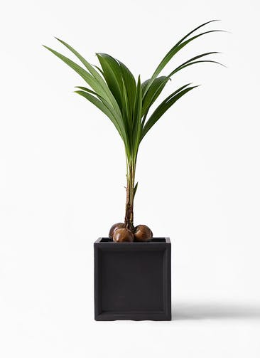 観葉植物 ココヤシ 10号 ブリティッシュキューブ 付き