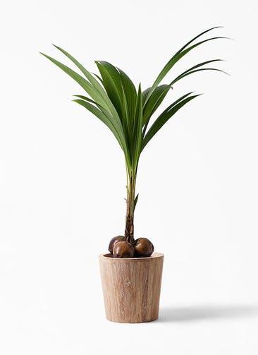 観葉植物 ココヤシ 10号 ウッドプランター 付き