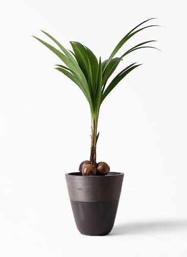 観葉植物 ココヤシ 10号 ジュピター 黒 付き