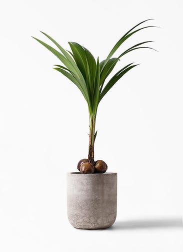 観葉植物 ココヤシ 10号 エルバ 白 付き