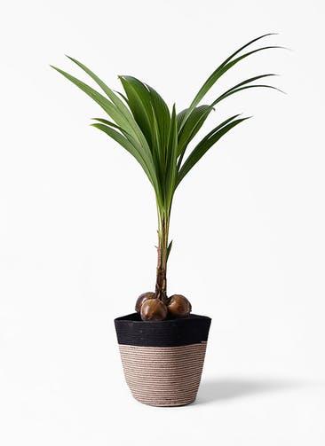 観葉植物 ココヤシ 10号 リブバスケットNatural and Black 付き