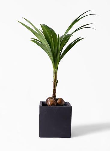 観葉植物 ココヤシ 10号 ベータ キューブプランター 黒 付き