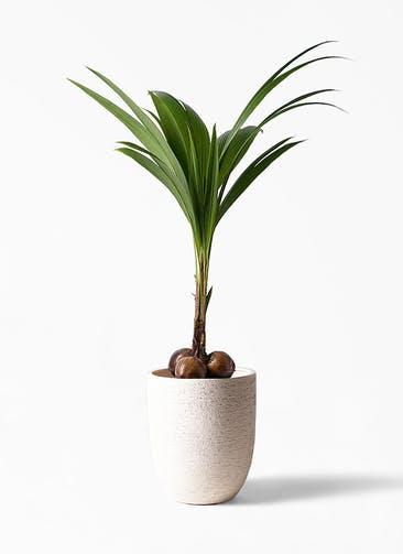 観葉植物 ココヤシ 10号 ビアスアルトエッグ 白 付き