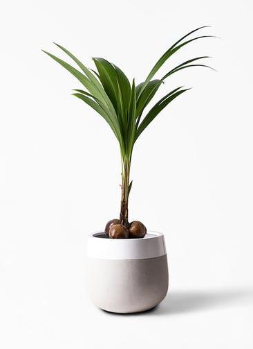 観葉植物 ココヤシ 10号 ファイバーストーンタウルス ミドル 白 付き