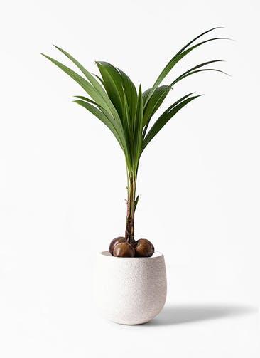 観葉植物 ココヤシ 10号 エコストーンwhite 付き