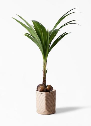 観葉植物 ココヤシ 10号 リブバスケットNatural 付き