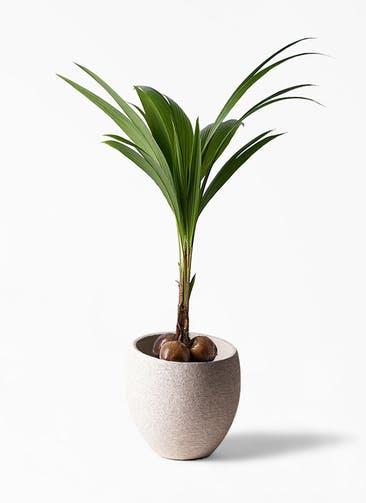 観葉植物 ココヤシ 10号 エコストーンLight Gray 付き