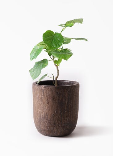 観葉植物 フィカス ウンベラータ 6号 ノーマル ビトロ ウーヌム コッパー釉 付き