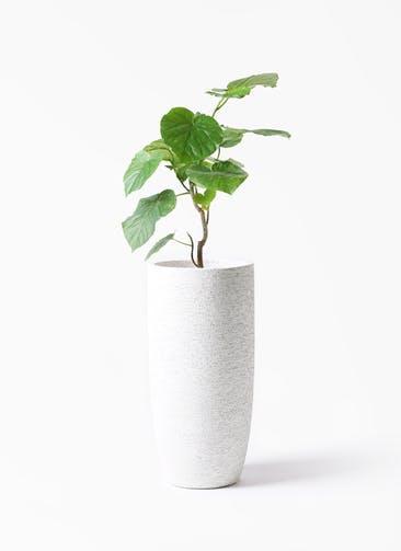 観葉植物 フィカス ウンベラータ 6号 ノーマル エコストーントールタイプ white 付き