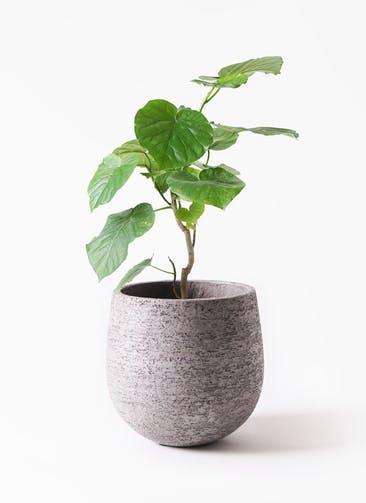 観葉植物 フィカス ウンベラータ 6号 ノーマル エコストーンGray 付き