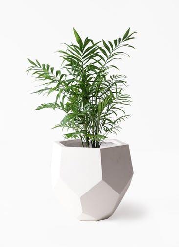 観葉植物 テーブルヤシ 7号 ポリゴヘクサ 白 付き