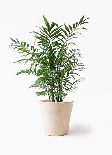観葉植物 テーブルヤシ 7号 フォリオソリッド クリーム 付き