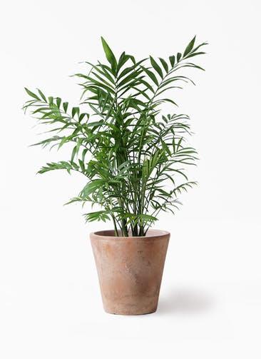 観葉植物 テーブルヤシ 7号 ルーガ アンティコ ソリッド 付き