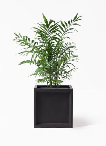 観葉植物 テーブルヤシ 7号 ブリティッシュキューブ 付き