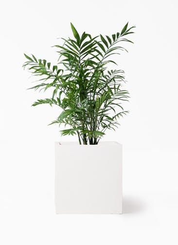 観葉植物 テーブルヤシ 7号 バスク キューブ 付き