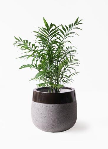 観葉植物 テーブルヤシ 7号 ファイバーストーンタウルス 黒 付き