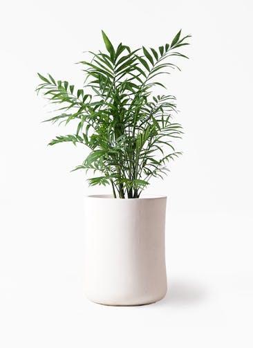 観葉植物 テーブルヤシ 7号 バスク ミドル ホワイト 付き