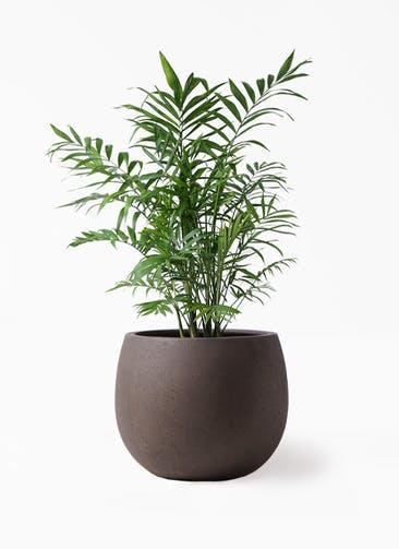 観葉植物 テーブルヤシ 7号 テラニアス ローバルーン アンティークブラウン 付き