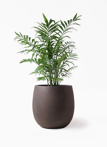 観葉植物 テーブルヤシ 7号 テラニアス バルーン アンティークブラウン 付き