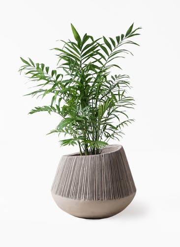 観葉植物 テーブルヤシ 7号 エディラウンド グレイ 付き
