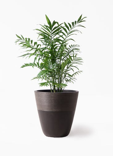 観葉植物 テーブルヤシ 7号 ジュピター 黒 付き