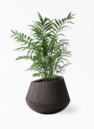 観葉植物 テーブルヤシ 7号 エディラウンド 黒 付き