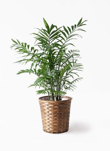 観葉植物 テーブルヤシ 7号 竹バスケット 付き