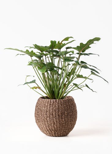 観葉植物 クッカバラ 4号 アバカバスケット スモーク 付き