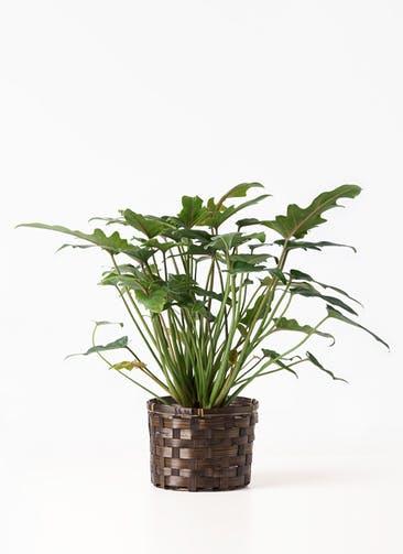 観葉植物 クッカバラ 4号 竹バスケット付き