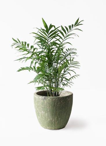 観葉植物 テーブルヤシ 7号 アビスソニアミドル 緑 付き