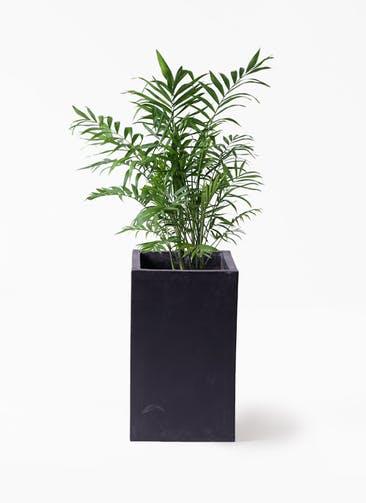 観葉植物 テーブルヤシ 7号 セドナロング 墨 付き