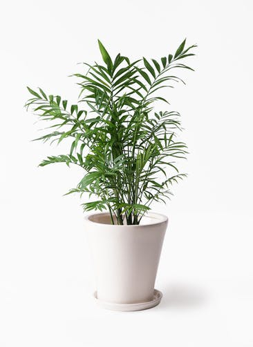 観葉植物 テーブルヤシ 7号 サブリナ 白 付き