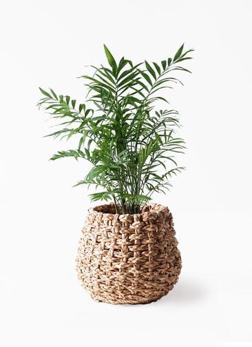 観葉植物 テーブルヤシ 7号 ラッシュバスケット Natural 付き