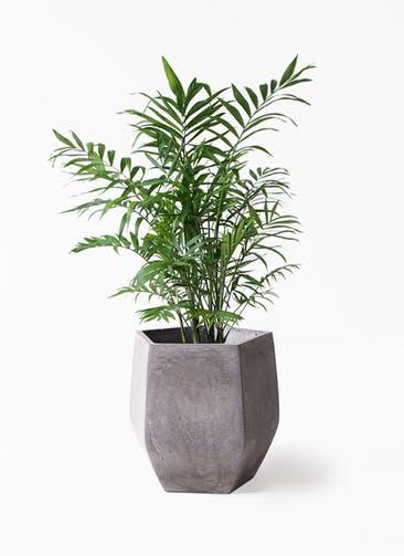 観葉植物 テーブルヤシ 7号 ファイバークレイ Gray 付き