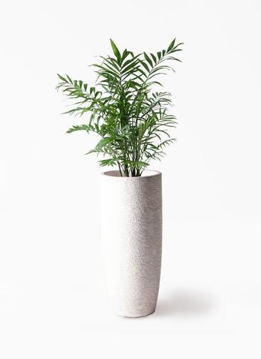 観葉植物 テーブルヤシ 7号 エコストーントールタイプ white 付き